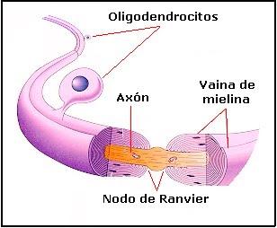 oligodentrocito
