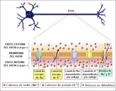 Neurona polarizada (en reposo)