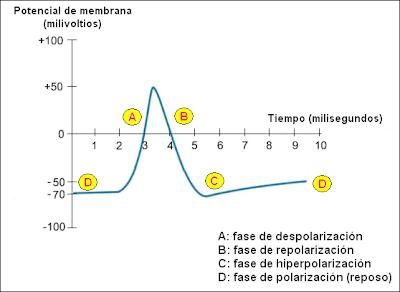 Gráfico del potencial de acción