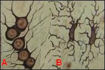 Oligodendrocito (A) y microglia (B)