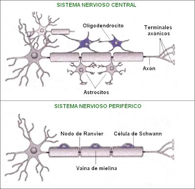 Esquema de las células gliales