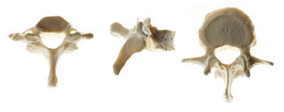 Huesos irregulares (vértebras)