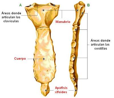 Vistas ventral (A) y lateral (B) del esternón