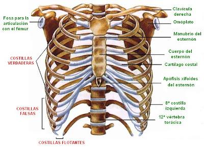 Todos los huesos del cuerpo (completo - hecho por mi)