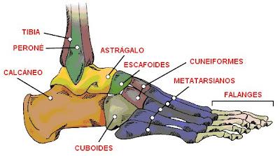 Huesos del pie derecho (vista lateral)