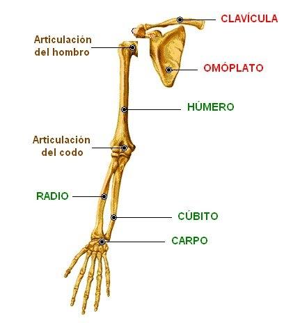 Huesos De La Extremidad Superior Huesos Del Hombro