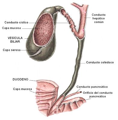 vesícula biliar y conducto colédoco