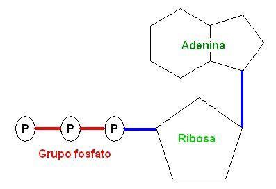 Estructura de la molécula de trifosfato de adenosina (ATP)