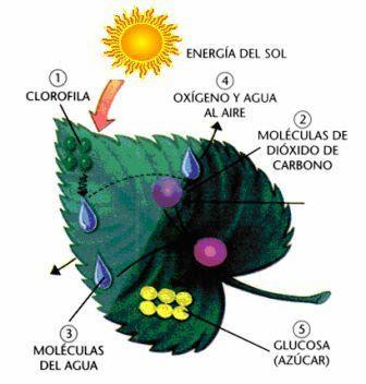Mecanismo de la fotosíntesis