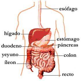 sistema digestivo del mamífero