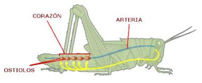 circulación de hemolinfa en insectos