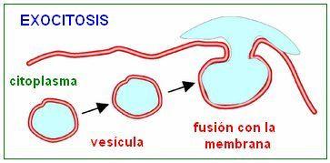 mecanismo de la exocitosis
