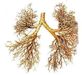 Estructura de los bronquios y bronquiolos