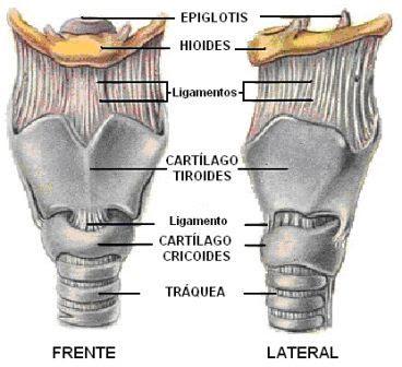 vista lateral y frontal de la laringe