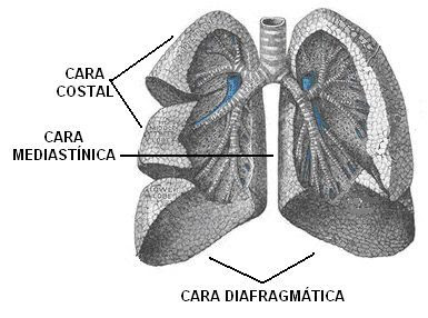 caras de los pulmones