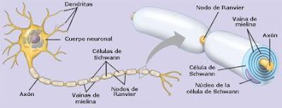 La mayoría de las fibras nerviosas (axones) poseen una envoltura de mielina.