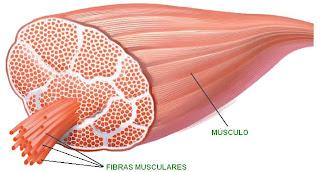 La célula del músculo de denomina fibra muscular. Son células cilíndricas y alargadas.