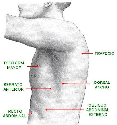 músculos de la espalda, pecho y abdomen
