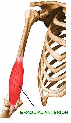 El braquial anterior es un músculo profundo que está por detrás del bíceps. Se origina en el húmero y se inserta en el cúbito. Es un músculo flexor del codo.