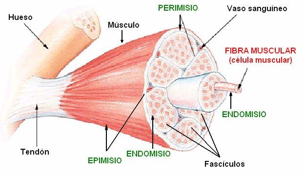 Biolonautas: ANATOMIA Y FISIOLOGIA DEL SISTEMA MUSCULAR PARTE 3