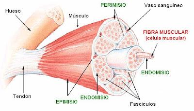 Estructura del músculo esquelético estriado