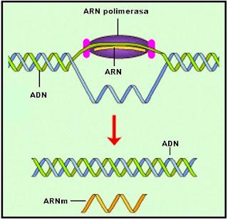 Luego que la ARN polimerasa termina de copiar la cadena del ADN se libera la hilera de ARN, mientras que las bases complementarias del ADN se cierran.