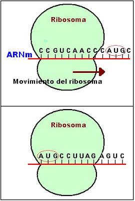 La síntesis de proteínas comienza en el momento en que el ARN mensajero se mueve por el ribosoma hasta el codón AUG. Las subunidades ribosomales se unen.