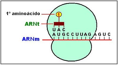 el anticodón del ARN de transferencia se une al codón AUG del ARNm transportando el aminoácido metionina.