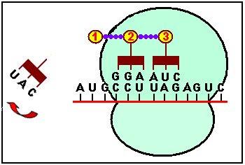El tercer ARNt llega con otro aminoácido y se une al codón del ARNm, a AUC en el ejemplo. El aminoácido se adhiere al dipéptido antes formado mediante otro enlace peptídico.