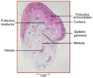 Corte histológico de ovario