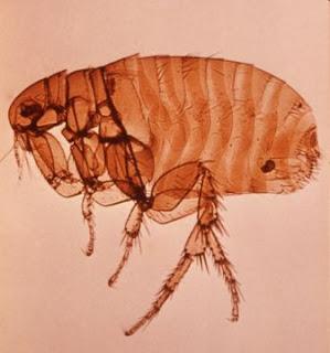 Xenopsylla cheopis