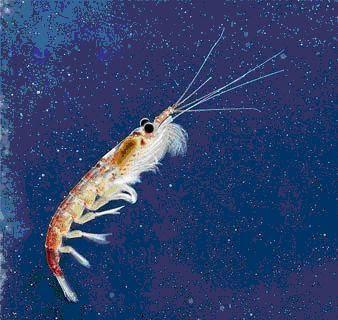 Pequeño crustáceo (krill)