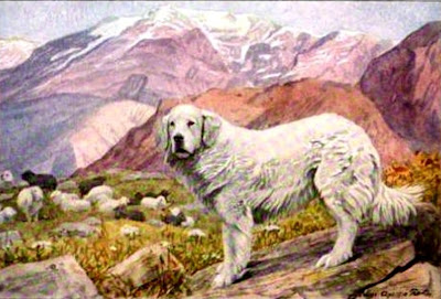 Pyrenean Sheep Dog