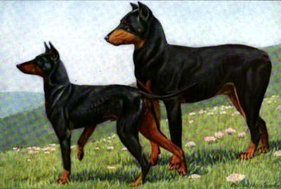 Dobermann Pinscher and Manchester Terrier