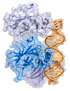 representation of a complex between DNA and the protein p53