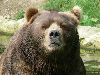Kodiak Bears (Ursus arctos middendorffi)