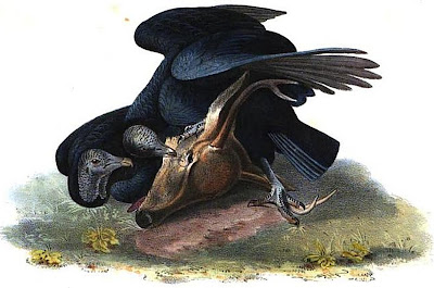 Black Vulture or Carrion Crow