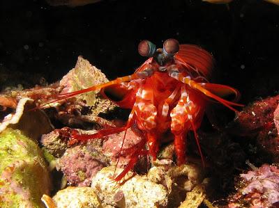 Gonodactyllaceus randalli