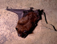 Eptesicus fuscus