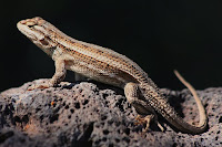 Sceloporus undulatus