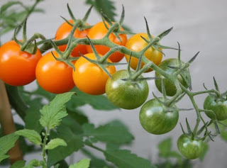 Sunsugar Tomatoes on the vine