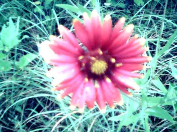 TEXAS WILD FLOWER