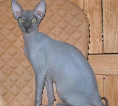 WAJAH menakutkan kucing Don Sphynx dengan empat taring