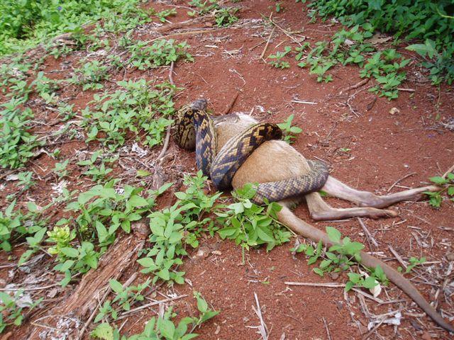 Cara Ular Memangsa Kangguru Bulat-Bulat