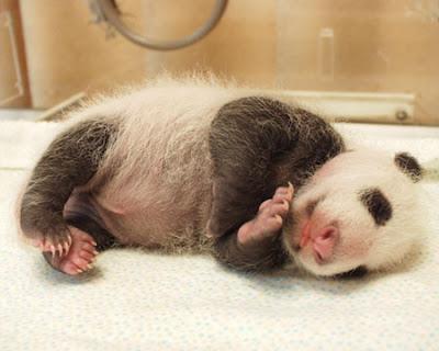 Panda tattoo is fading. Diposkan oleh Animal-Tattoo-Art-Pictures-Animal di