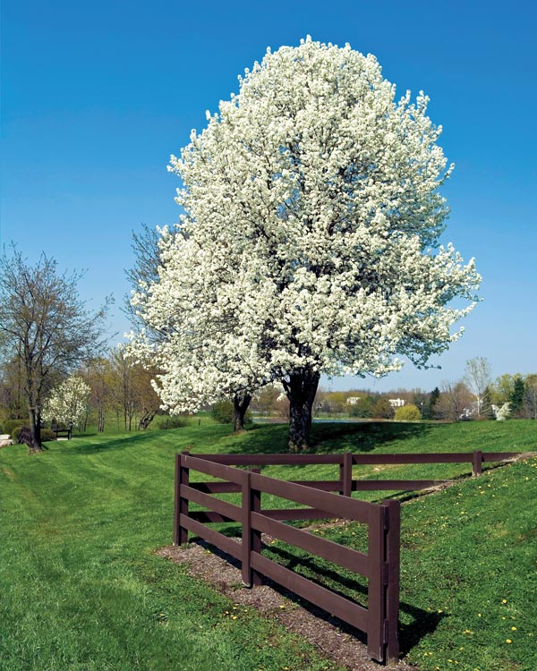 Pure style home spring has sprung Bradford pear