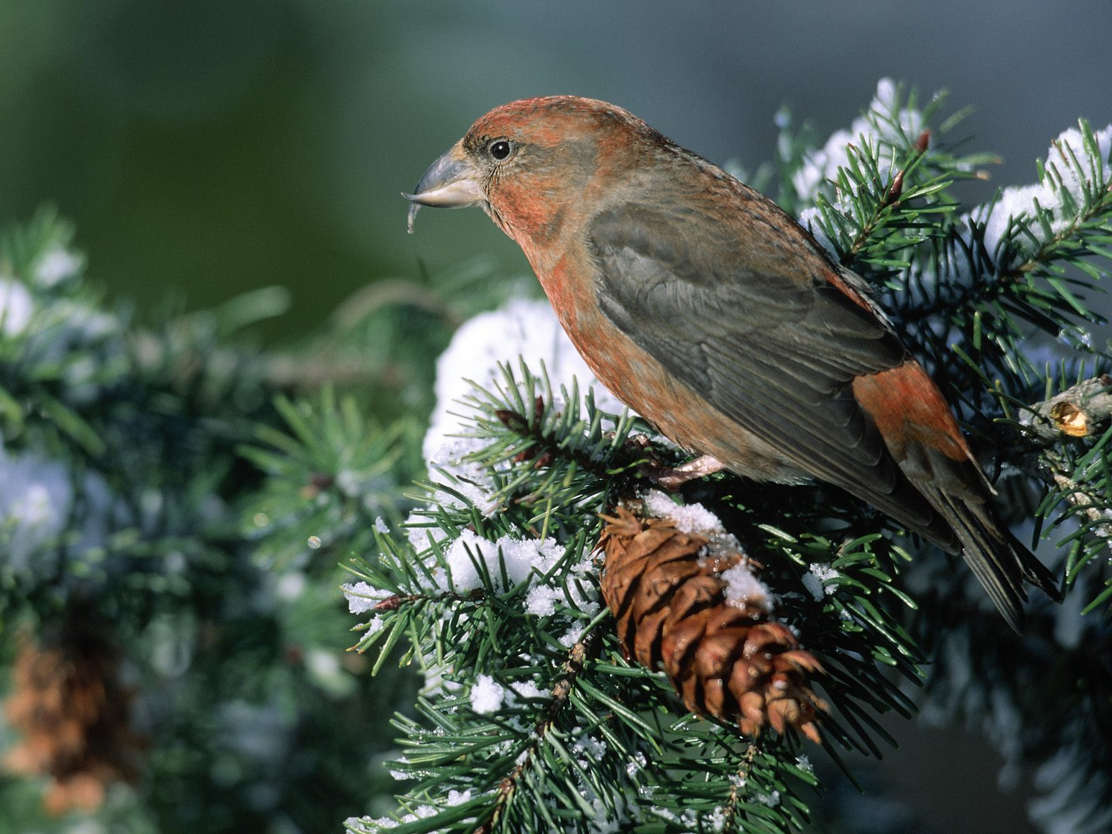 http://3.bp.blogspot.com/_TcwbPuj2SZ0/TFMg9OihwrI/AAAAAAAARv4/yGX6yCH_eaw/s1600/Crossbill-Bird-Feeding-on-Fir-Cones.jpg