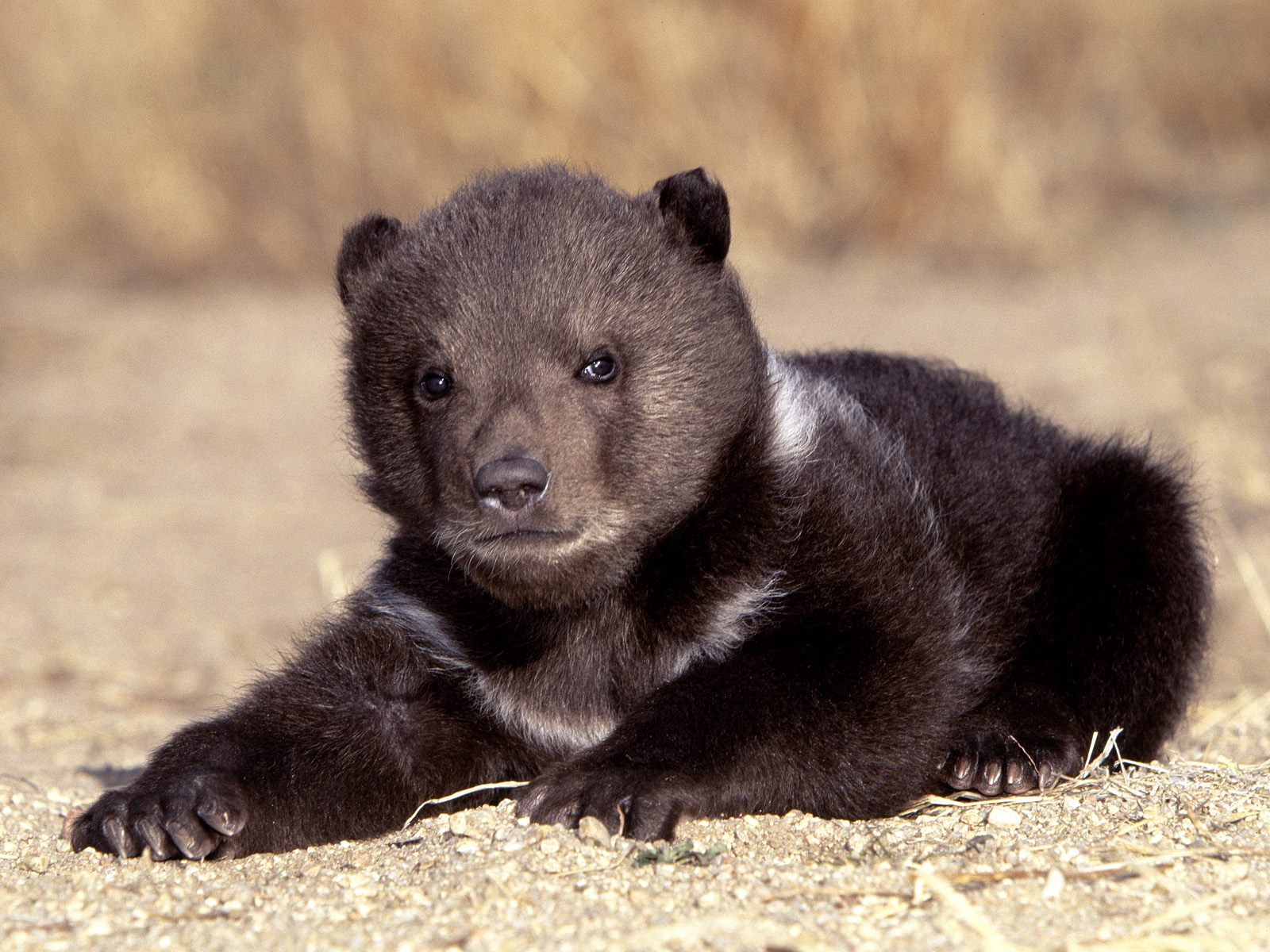 Baby Bear - About Animals