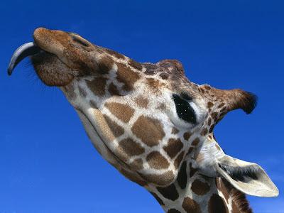 giraffe wallpaper. Wallpaper: Wild Animals