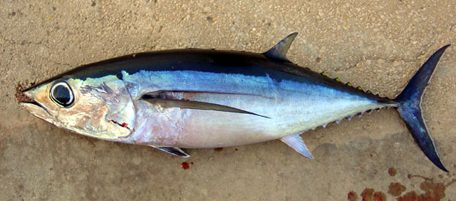 Asturkayak peces confusos tunidos actualizado for Sierra fish in english